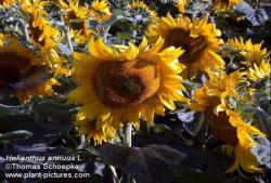 دانلود پاورپوینت تولید بذر هیبرید در آفتابگردان